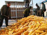 玉米渣加工